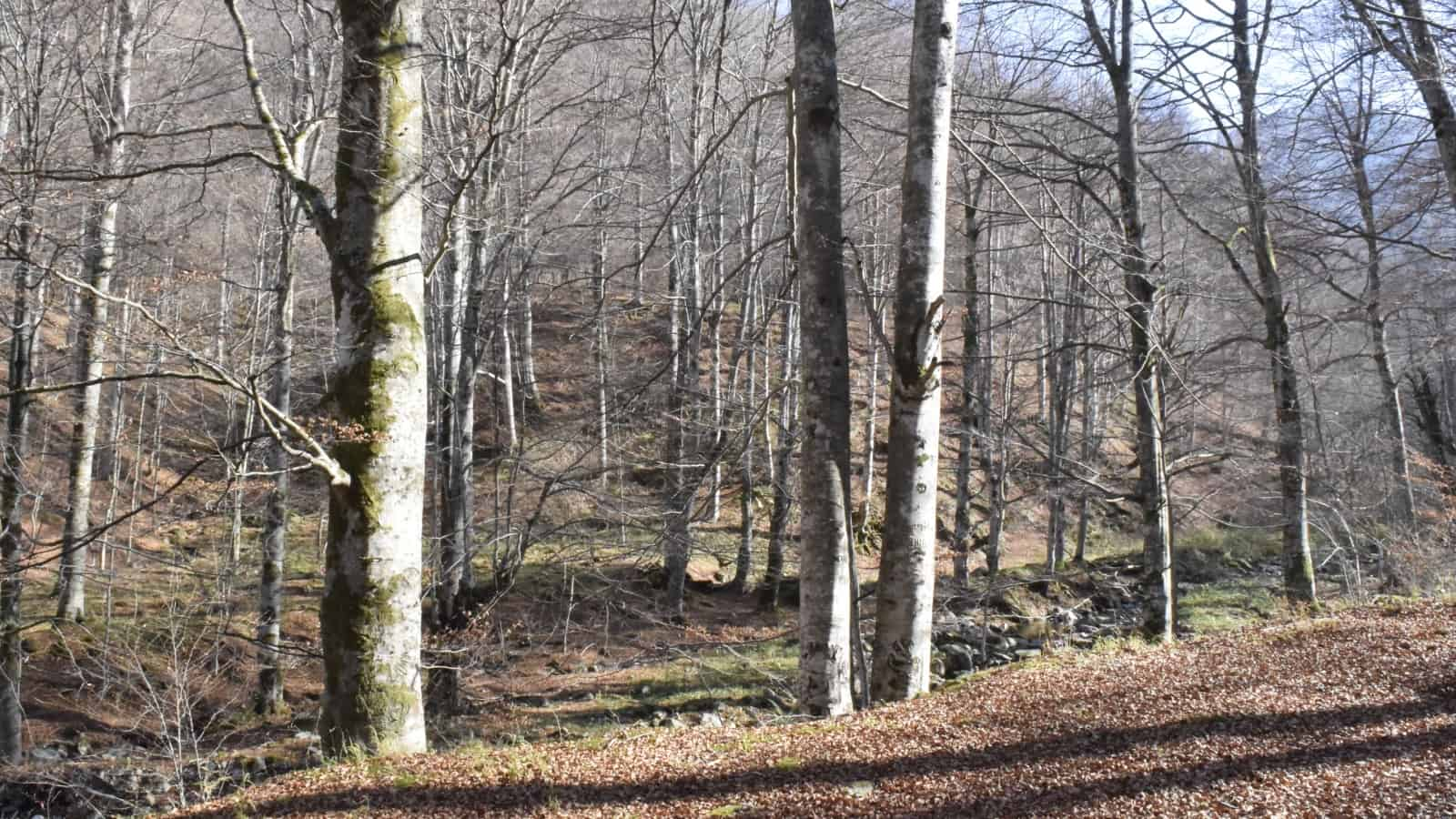 Beech forest - Photo: Central Balkan National Park/Stoyan Hristov