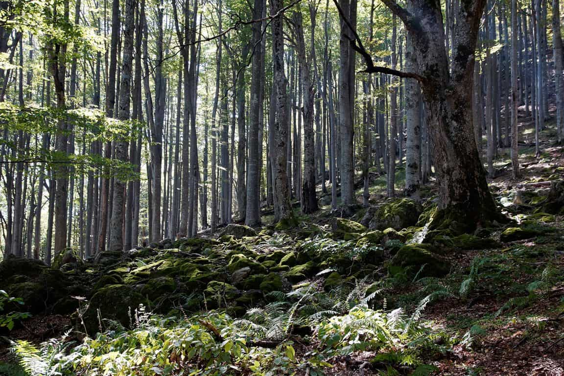 Beech forest in Dzhendema reserve - Photo: Central Balkan National Park and Biosphere Reserve