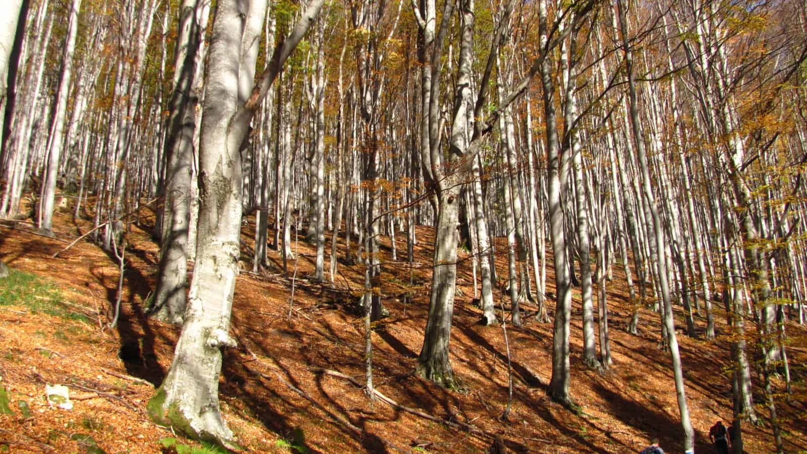 Beech forest in Stara reka reserve - Photo: Central Balkan National Park and Biosphere Reserve