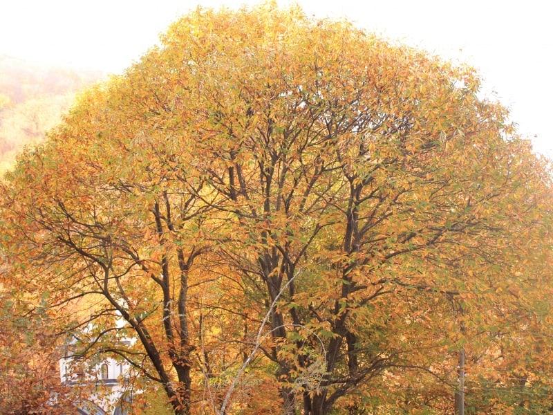Sweet chestnut (Castanea sativa) - photo: Belasitsa Nature Park/Ilia Kochev Levkov