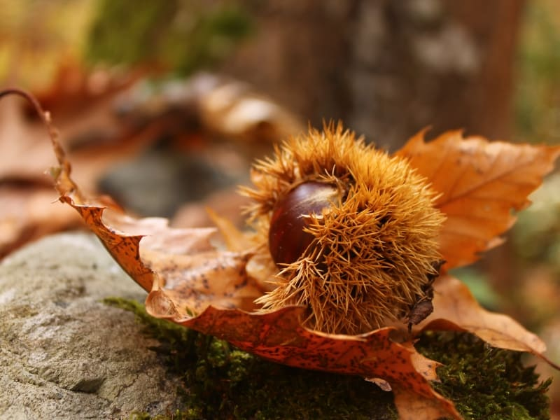 Fruit of the sweet chestnut (Castanea sativa) - photo: Belasitsa Nature Park/Ilia Kochev Levkov