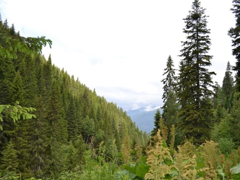 Coniferous forest - Photo: Rila Monastery Park Directorate