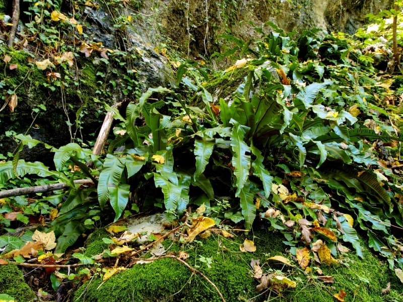 Hart's tongue fern (Asplenium scolopendrium) - photo: Vrachanski Balkan Nature Park