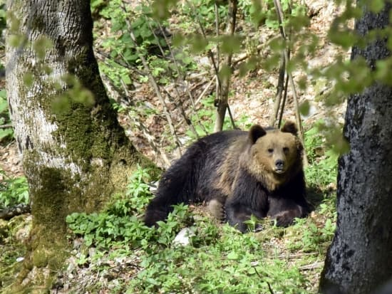 Eurasian brown bear (Ursus arctos arctos) - photo: Central Balkan National Park