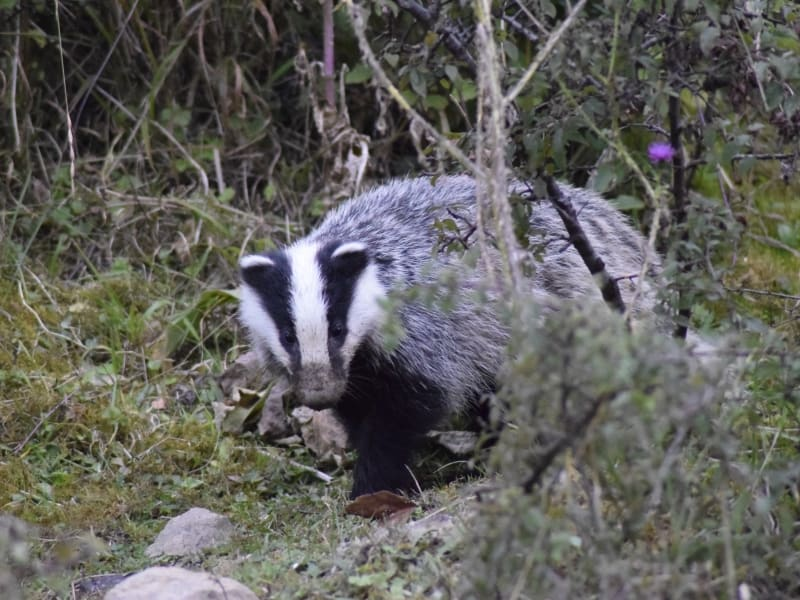 European Badger (Meles meles) - Photo: Central Balkan National Park