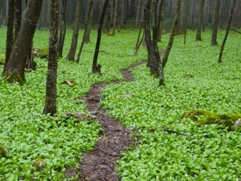Green carpet of wild garlic (Allium ursinum)- photo: Vrachanski Balkan Nature Park