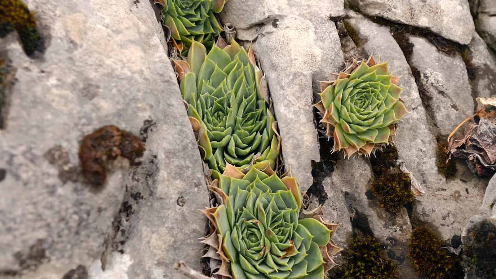 Hen-and-chickens (Sempervivum heuffelii Schott) - photo: Vrachanski Balkan Nature Park