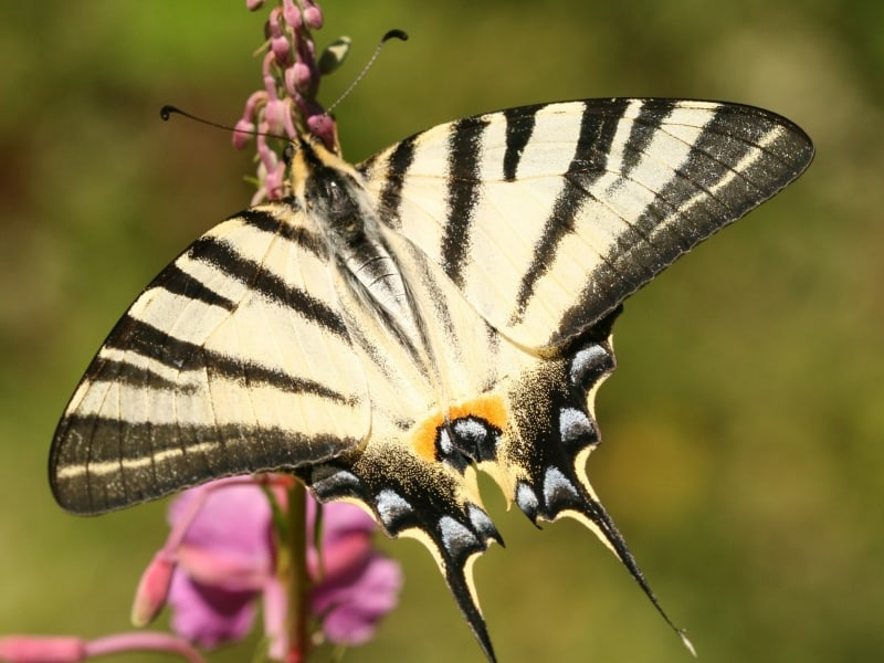 Scarce swallowtail, sail swallowtail, pear-tree swallowtail (Iphiclides podalirius) - photo: Piotr Rzerzycha