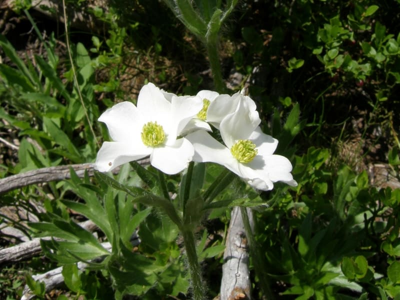narcissus anemone - anemone narcissiflora - нарцисовидна съсънка