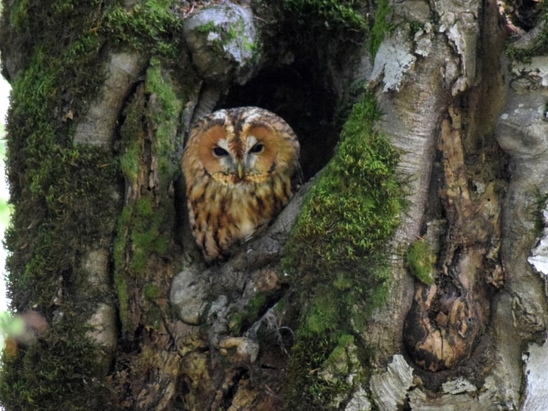 Tawny owl (Strix aluco) - photo: Central Balkan National Park
