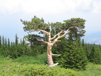The most famous tree in Vitosha Nature Park - photo: Vitosha Nature Park
