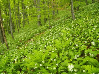 Ramsons/Wild garlic/Bear's garlic (Allium ursinum) - photo: Vrachanski Balkan Nature Park
