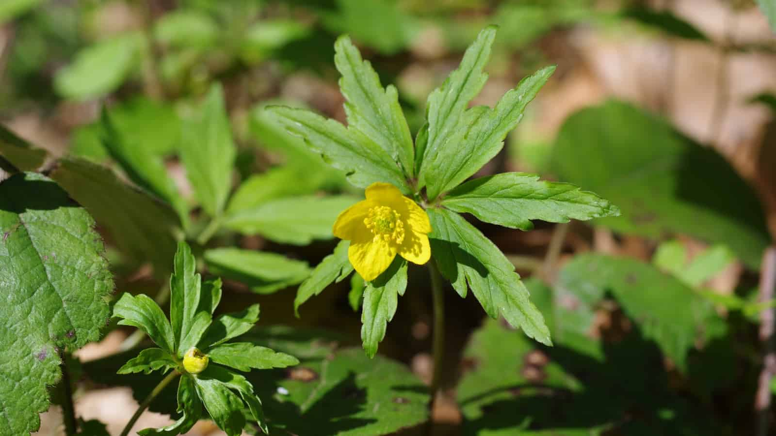 Yellow wood anemone (Anemone ranuculoides) - Photo: Belasitsa Nature Park/Ilia Kochev Levkov