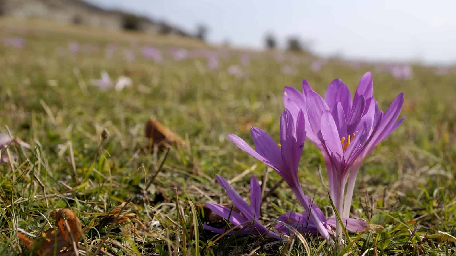 Autumn crocus/Meadow saffron (Colchicum autumnale) - photo: Vrachanski Balkan Nature Park