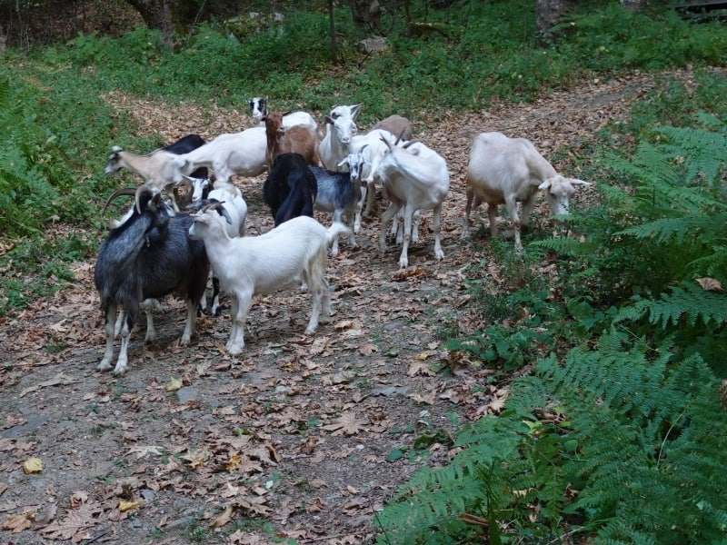 Goats on the butterfly trail in Yavornitsa | Photo: Nature Experience Bulgaria