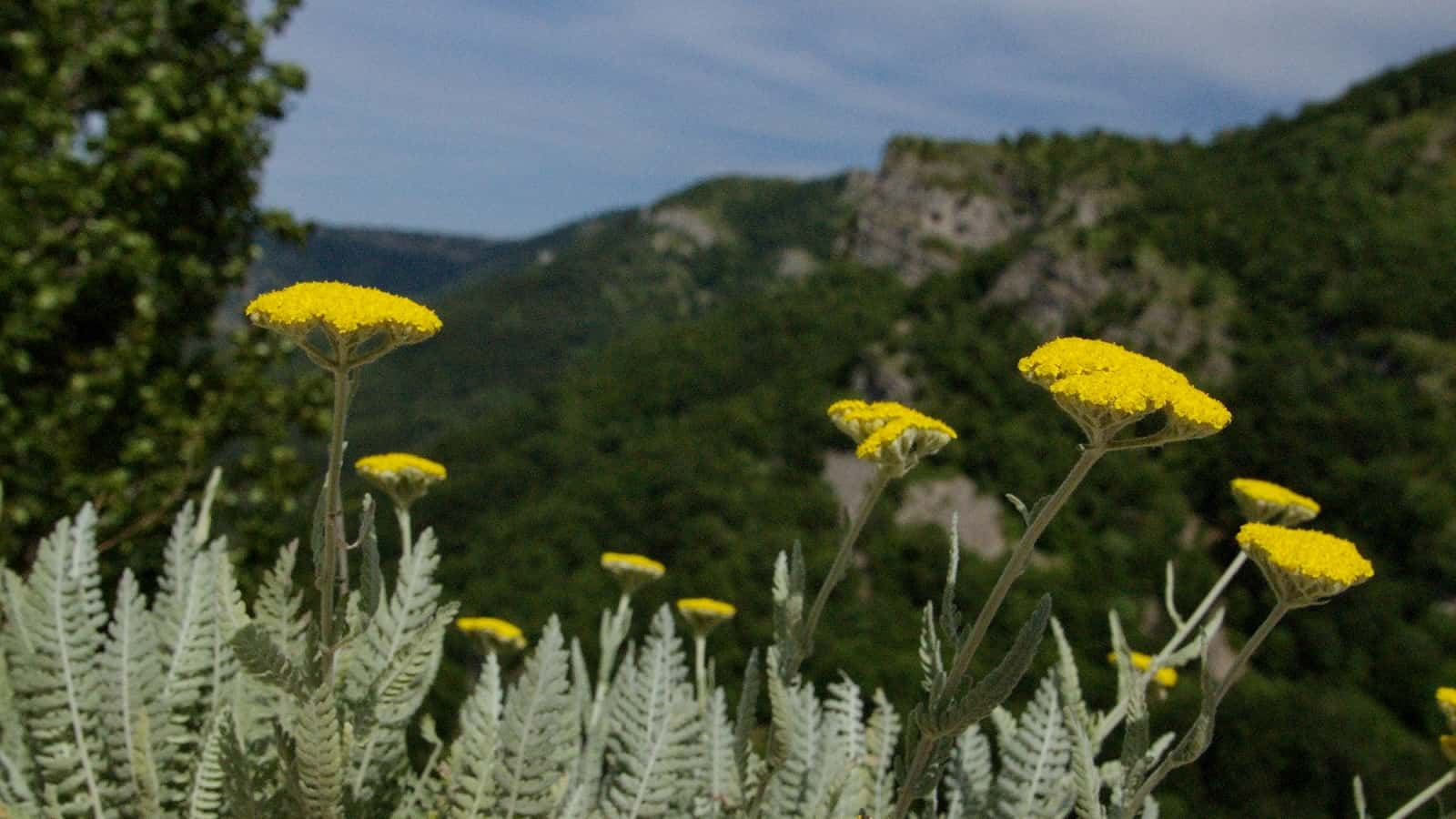 Moonshine yarrow (Achillea clypeolata), endemic to the Balkan peninsula - Photo: Vrachanski Balkan Nature Park, Krasimir Lakovski
