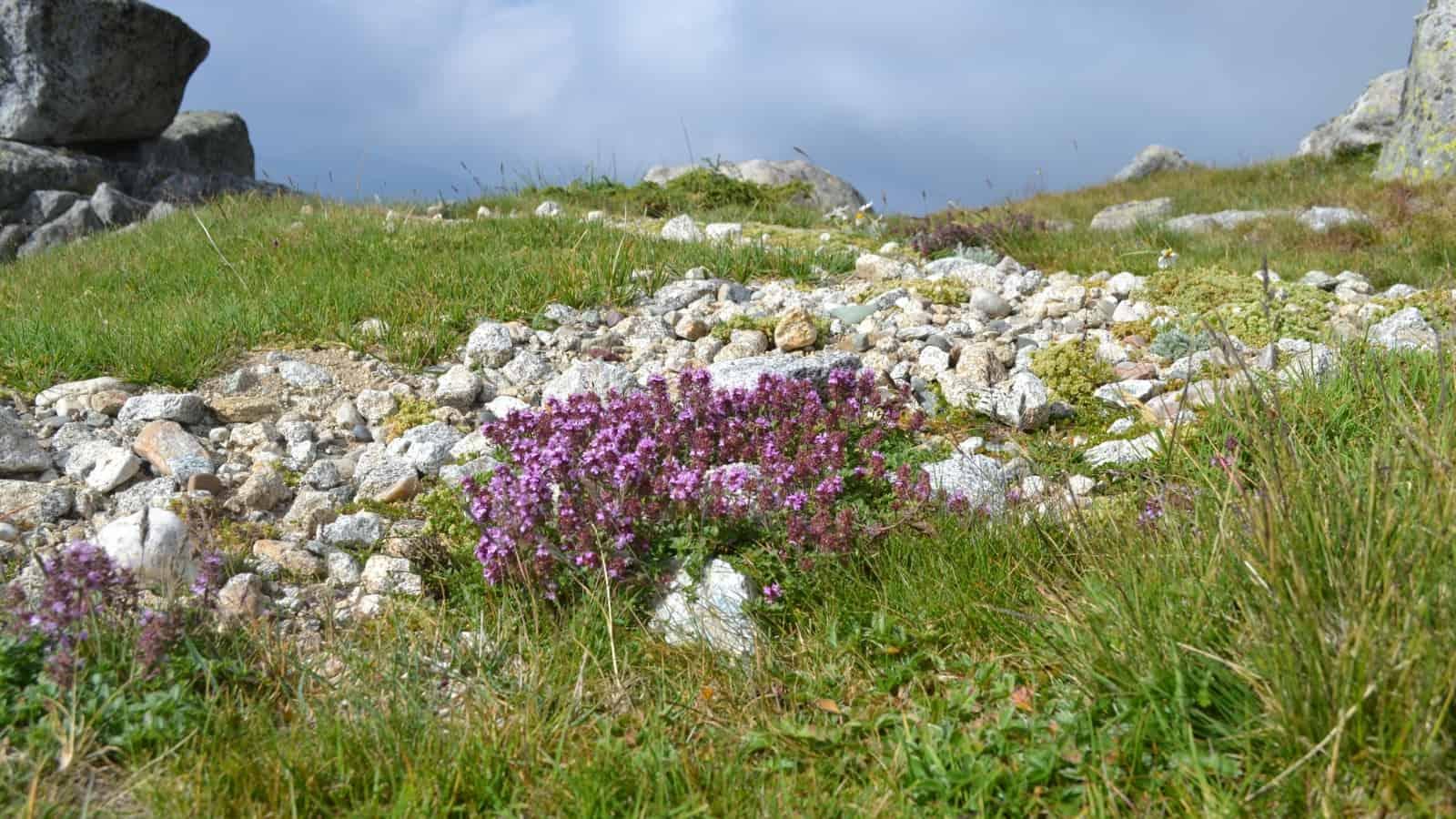 Alpine meadow - - Photo: Rila Monastery Park Directorate