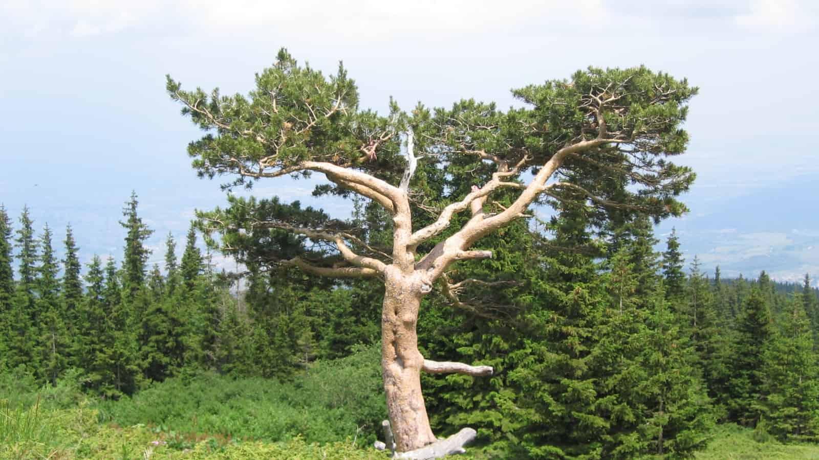 The most famous tree in Vitosha Nature Park - photo: Vitosha Nature Park