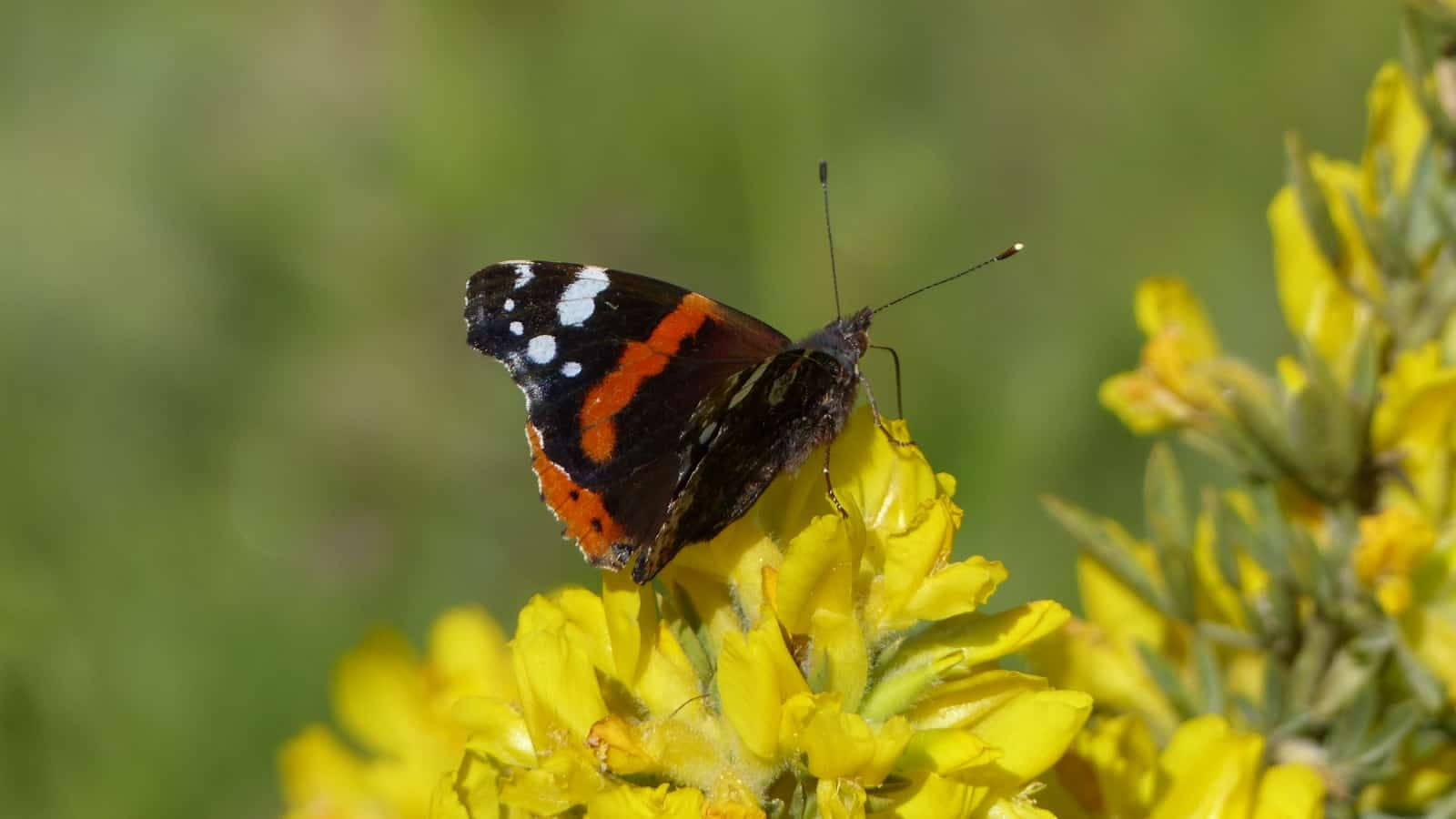 Red admiral (Vanessa atalanta) - photo: Vladimir Milushev